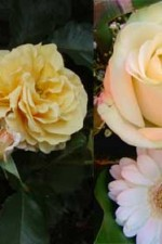 Q&As: Problems with roses