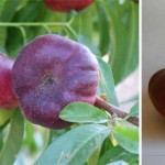 Giveaway: Flatto Peach and Nectarine trees