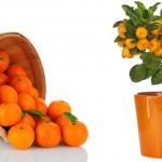 Grow your own mandarins