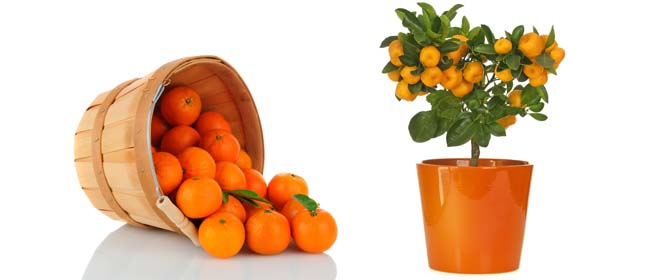 Grow mandarins