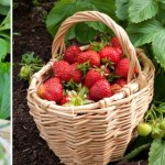 Create a strawberry patch