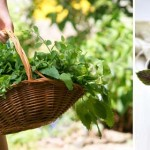 Growing and using Asian herbs