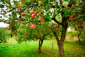 Apple-trees