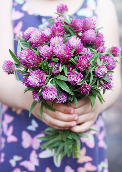 Red clover wildflower bouquet. Considered a weed by some,  but a beautiful cut flower by others.