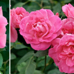 Q&As: Scale on rose bushes