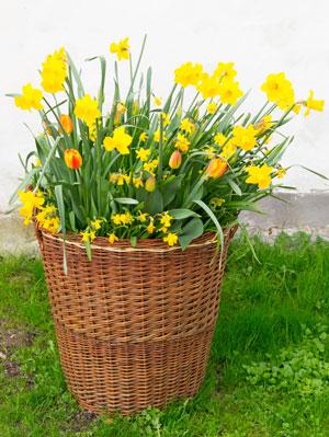 daffodil-basket