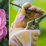 Q&As: When to prune roses & specific soil mixes