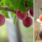 Q&As: Planting stone fruit near pipes