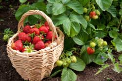strawberry-basket
