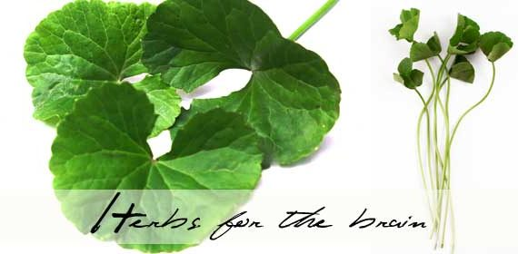 Grow gotu kola for memory and arthritis