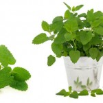 Lemon balm for stress relief
